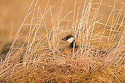 Cackling Goose, Branta hutchinsii, female on nest, Yukon Delta NWR, Alaska