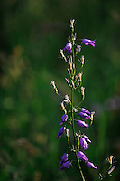 (Campanula rapunculoides), Creeping Bellflower, Mullerthal trail, Mullerthal, Luxembourg