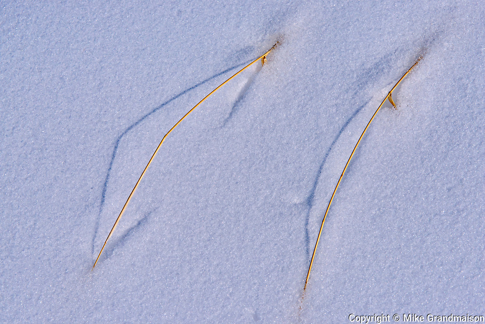 Grasses in snow<br />Birds Hill Provincial Park<br />Manitoba<br />Canada