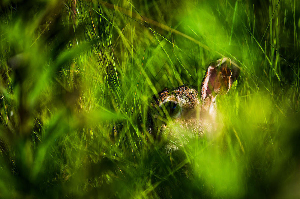 An Eastern cottontail rabbit hides in the grass at Tommy Thompson Park, located on a man-made peninsula, known as the Leslie Street Spit, in Toronto, June 24, 2015.    REUTERS/Mark Blinch