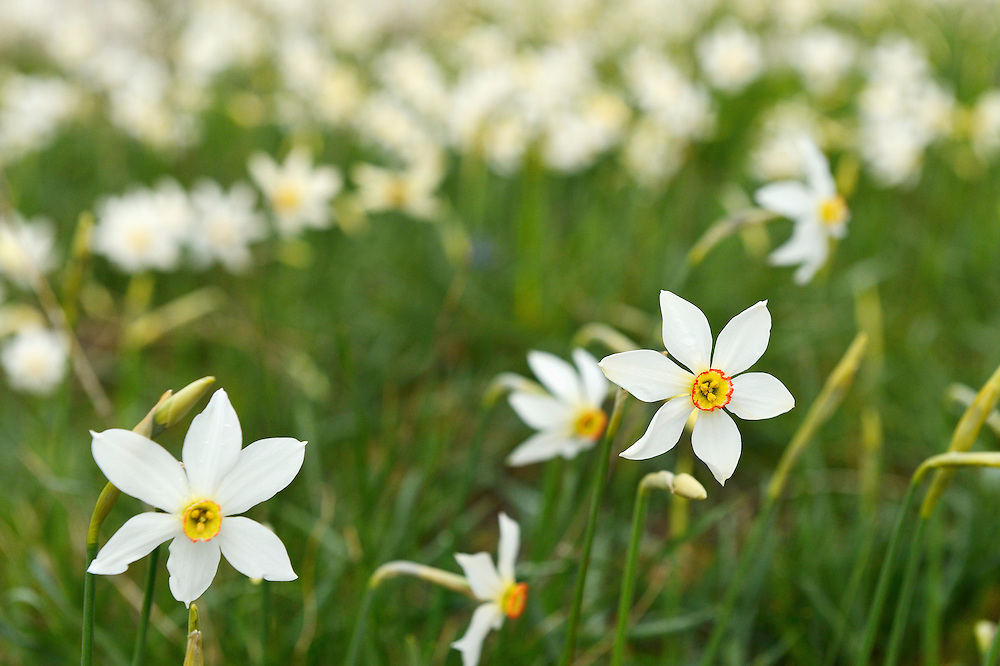 Poet's Daffodil, Narcissus poeticus, Mala Libinje, Velebit mountains Nature Park, Croatia
