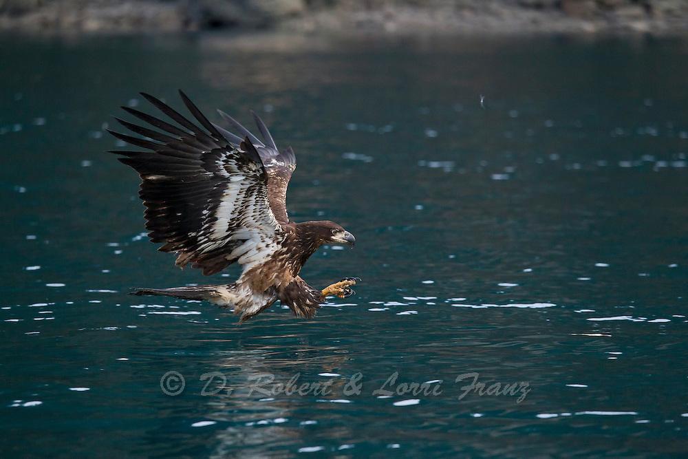 Immature bald eagle in Alaska
