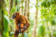 Crowned Lemur Black Lemur hybrid, Madagascar
