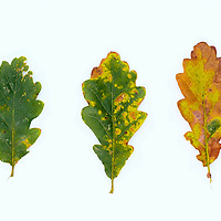 Green oak leaves on white background