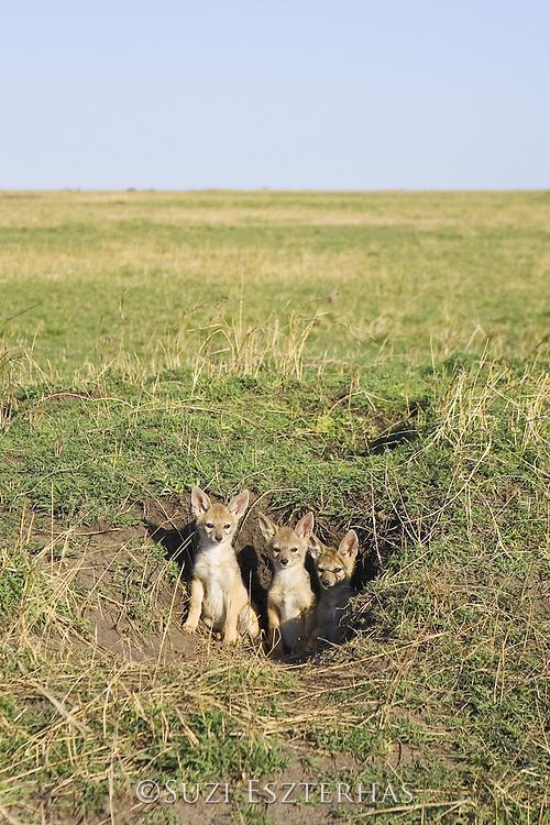 Black-backed Jackal<br /> Canis mesomelas<br /> 6 week old pup(s) at den<br /> Masai Mara Triangle, Kenya