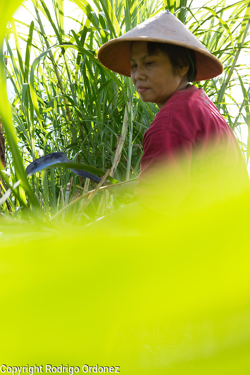 Suparjiyem, 49, cuts grass at a plot of land she rents near her home in Wareng, Wonosari subdistrict, Gunung Kidul district, Yogyakarta Special Region, Indonesia.