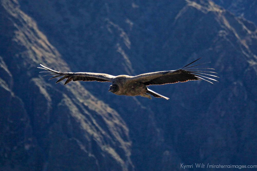 South America, Peru, Colca Canyon. Andean Condor in flight.