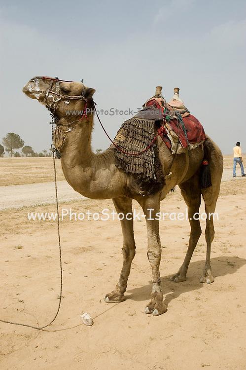 Israel, Negev, Beduin Camel desert