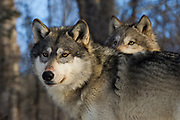 Two gray wolves (Canis lupus) in winter habitat. Captive pack.