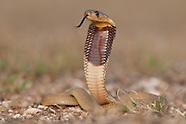 Cape Cobra