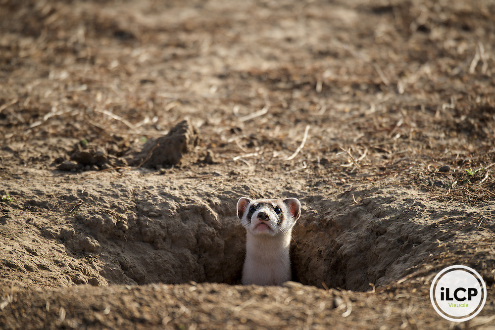 Black-footed ferrets prey on prairie dogs almost excusively. Shortly after release to Rocky Mountain Arsenal National Wildlife Refuge, this ferret peers from the inside of the burrow where he was released.  Commerce City, CO