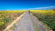 Hiking through wild mustard, Santa Cruz Island, Channel Islands National Park, California USA