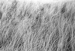 sea grass in East Hampton,NY