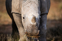 White Rhino Calf, Mount Camdeboo, Eastern Cape, South Africa