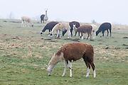 Alpakas auf Weide im Vogelsberg, Hessen, Deutschland