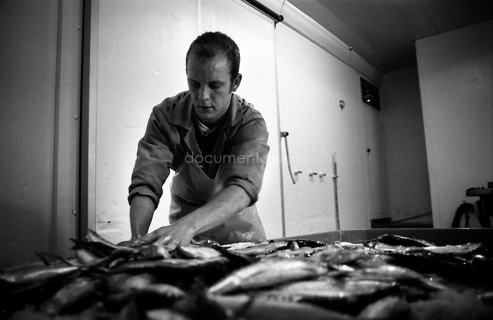 Laying the fish in big plastic bin before salting them. In the old days this was done in big stone tanks.