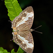 Cyrestis cocles, the marbled map butterfly in Kaeng Krachan National Park, Thailand.