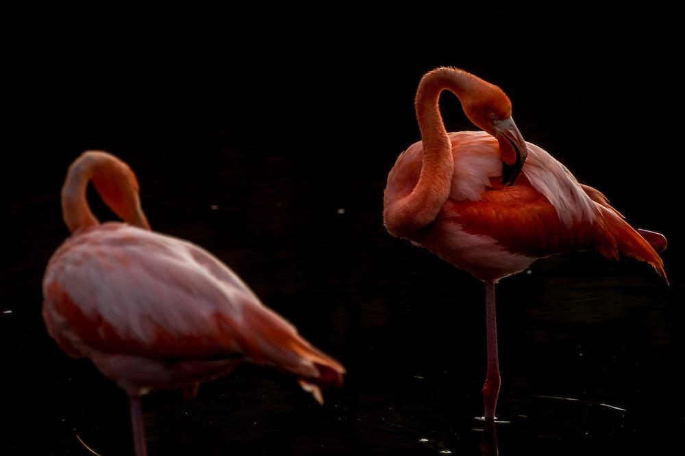 Pelicans standing in a freshwater lagoon, Isla Isabela, Galapagos, Ecuador.