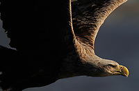 White tailed sea eagle, Haliaeetus albicilla, Norway