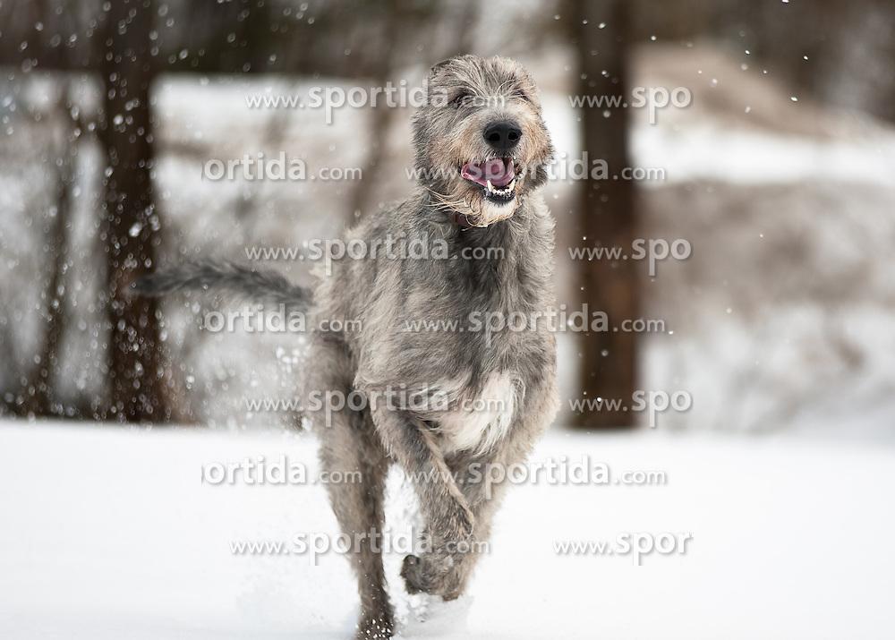 THEMENBILD - Irischer Wolfshund. Der Irische Wolfshund ist ein sanftmütiger Riese und deshalb trotz seiner imposanten Größe hauptsächlich ein Familienhund. Seinen Ursprung als Windhund für die Jagd kann er beim Geländerennen (Coursing) oder auf der Rennbahn bei Windhundrennen ausleben. Hier im Bild irischer Wolfshund läuft auf einer schneebedeckten Wiese, aufgenommen am 24.02.2012. EXPA Pictures © 2011, PhotoCredit: EXPA/ M. Kuhnke