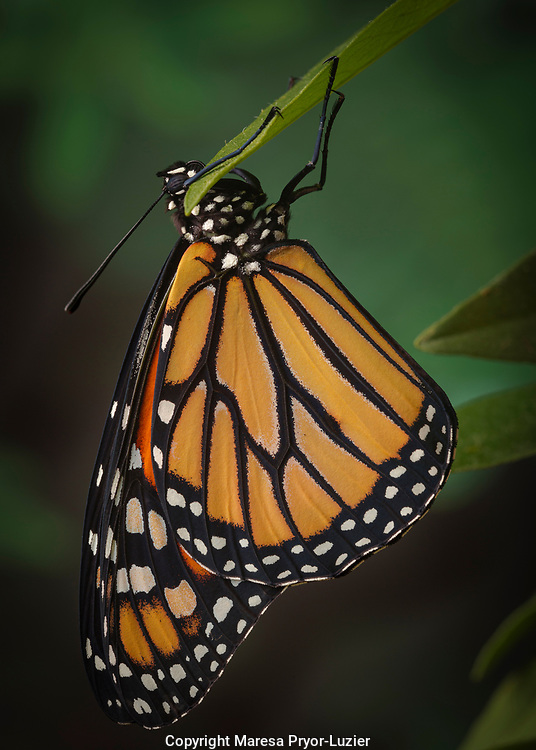 Monarch butterfly recently hatched and is unraveling its wings while resting, Danaus plexippus, Florida, controlled