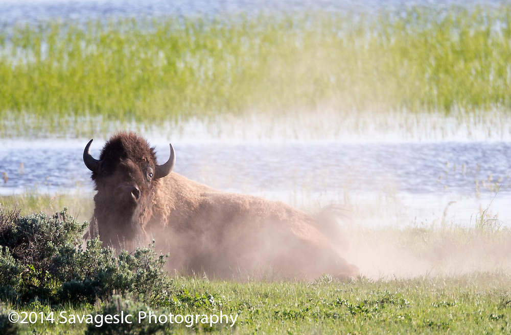 Bull bison taking a dust bath.