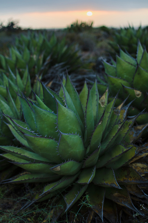 Shaw's agave (Agave shawii) Reserva Natural, Valle Tranquilo, Bahia de san Quintin, Baja California, Mexico