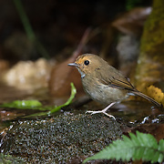 The rufous-browed flycatcher (Anthipes solitaris) is a species of bird in the family Muscicapidae. It is found in Indonesia, Laos, Malaysia, Myanmar, Thailand, and Vietnam. Its natural habitat is subtropical or tropical moist montane forests.