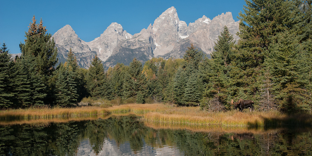 A wideangle shot of a bull moose at Schwabacher's landing in Grand Teton National Park.