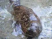 Seal pup in water