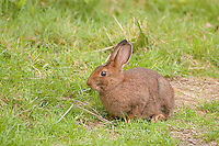 This iconic North American hare in its summer brown coat is found in a vast range that covers most of Canada and stretches south into the United States in several locations. While these larger cousins of rabbits are known for having white coats in winter and brown coats in the summer, individuals in the Olympic National Park such as this one photographed in summer at Ruby Beach, Washington will retain their brown coat all throughout the winter.