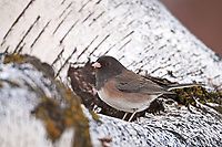 Oregon race Dark Eyed Junco stands on a birch tree in the month of December.