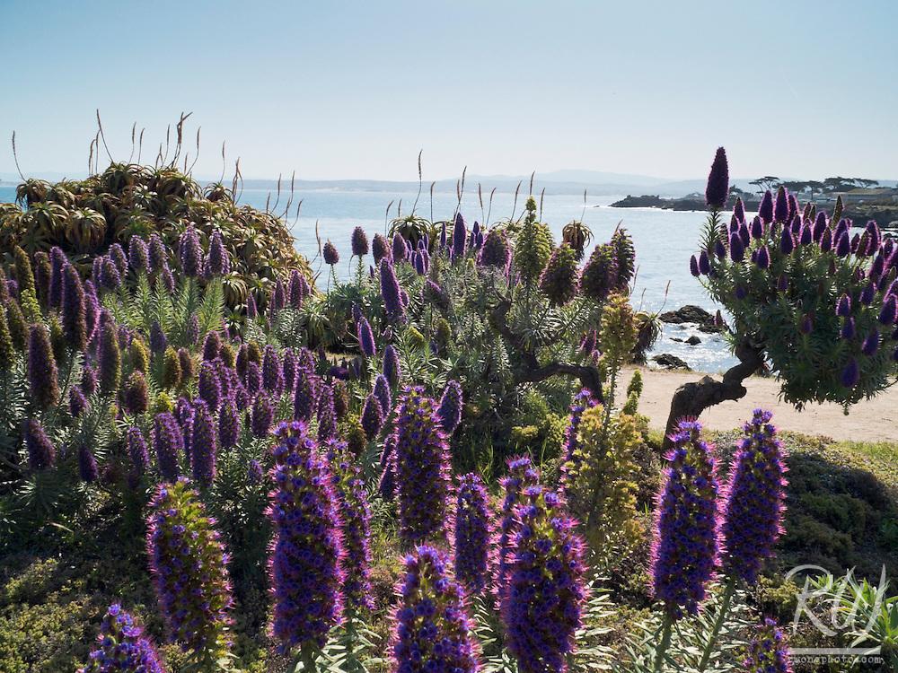 Pride of Madeira Flowers Along Coastal Trail, Pacific Grove, California
