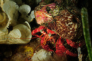 Hermit crab (Dardanus calidus) and Parasitic anemone (Calliactis parasitica) | Einsiedlerkrebs (Dardanus calidus) lebt in Symbiose mit der Schmarotzerrose (Calliactis parasitica)
