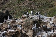 Leucocarbo onslowi (Chatham Island shag)