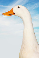 Close-up of goose against sky (digital composite)