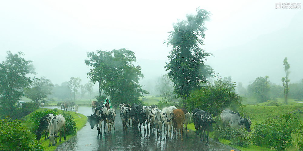 HUMAN & ANIMALS, there is some very strong relationship between humans and animals. they try to protect each other, and are supplementary for us humans! this cowboy from India, taking his heard of cows for feeding grass, the rain is falling in full forse!