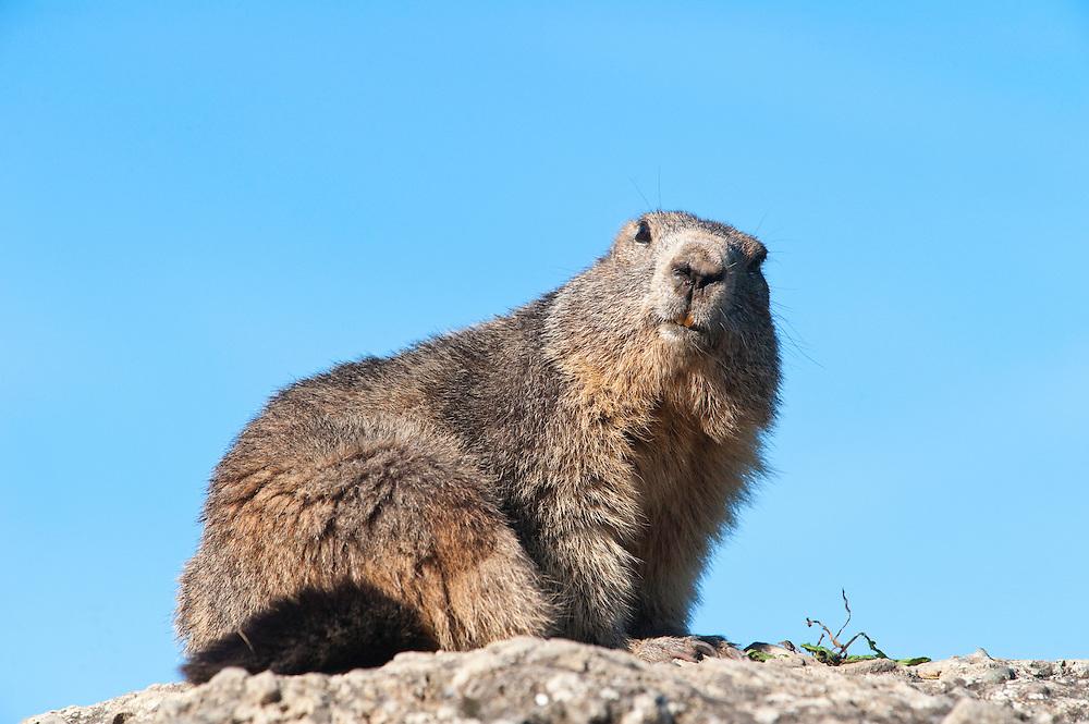 Alpine marmot, Marmota marmota, Guillestre, Queyras, France, Europe