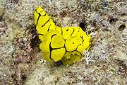 Minor Notodoris nudibranch - Agincourt Reef, Great Barrier Reef, Queensland, Australia.