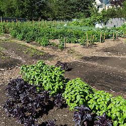Basil growing at the Garrison-Trotter Farm in the Dorchester neighborhood of Boston, Massachusetts.