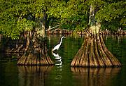 Egret waiting to catch his evening dinner on Reel Foot Lake. Near Tiptonville, TN. Reel Foot Lake