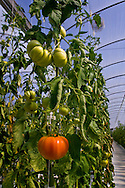 Fresh hierloom tomatoes growing in hydroponic climate controlled greenhouse, Linn's Family Farm, near Cambria, California