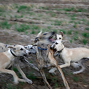 Greyhounds playing near Fuente de Cantos, Badajoz province, Extremadura region, Spain   . The WAY OF SAINT JAMES or CAMINO DE SANTIAGO following the Silver Way, between Seville and Astorga, SPAIN. Tradition says that the body and head of St. James, after his execution circa. 44 AD, was taken by boat from Jerusalem to Santiago de Compostela. The Cathedral built to keep the remains has long been regarded as important as Rome and Jerusalem in terms of Christian religious significance, a site worthy to be a pilgrimage destination for over a thousand years. In addition to people undertaking a religious pilgrimage, there are many travellers and hikers who nowadays walk the route for non-religious reasons: travel, sport, or simply the challenge of weeks of walking in a foreign land. In Spain there are many different paths to reach Santiago. The three main ones are the French, the Silver and the Coastal or Northern Way. The pilgrimage was named one of UNESCO's World Heritage Sites in 1993. When there is a Holy Compostellan Year (whenever July 25 falls on a Sunday; the next will be 2010) the Galician government's Xacobeo tourism campaign is unleashed once more. Last Compostellan year was 2004 and the number of pilgrims increased to almost 200.000 people.