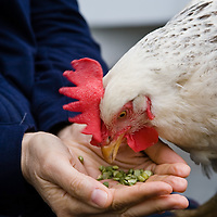 A hen eats split peas out of her owner's hands. Keeping backyard chickens has become a very popular, if clandestine, way of getting fresh eggs for many city dwellers.
