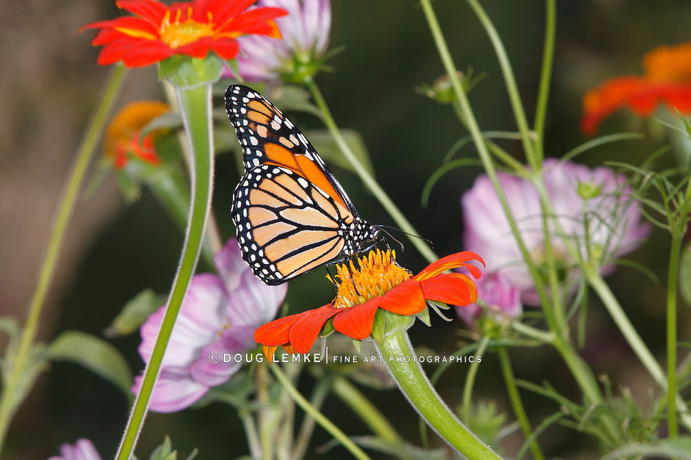 A Monarch Butterfly In A Garden Setting Amid Colorful Flowers, Danaus plexippus
