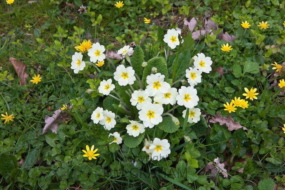 Spring and summer hedgerow wildflowers lesser celandine, Primroses, Primula vulgaris, dandelions, Salad Burdet in Cornwall