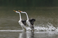 A close up to the grebes' courting ritual as the near bird raced the other.<br /> <br /> The &quot;rush&quot; is one of the most wonderful behavior of the western grebes. The rush started with two birds turn to one side, lunge forward in synchrony, their bodies completely out of the water, and race across the water side by side with their necks curved gracefully forward. (From: AllAboutBirds.org)