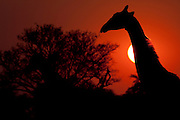 A giraffe head silhouetted in front of the setting sun.