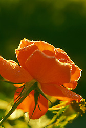 Stock photo of an orange rose with early morning dew