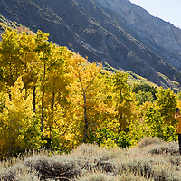 The Fall season in the Eastern Sierras is one of the most beautiful seasons to visit. A hiker stops to take photos of the Aspens while hiking the McGee Creek Trail.